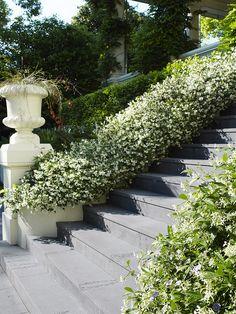 Confederate Jasmine, Star Jasmine (Trachelospermum jasminoides) up stairs Dream Garden, Home And Garden, Garden Path, Landscape Design, Garden Design, Trachelospermum Jasminoides, Hillside Landscaping, Outdoor Landscaping, Beautiful Stairs