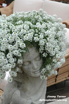 Central Texas Gardener Blog » Blog Archive » Lobularia Snow Princess Dallas Arboretum