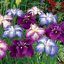 Japanese Iris Mixture Super Sak®