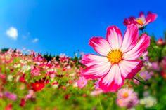 秋を象徴する花である「コスモス」。コスモスのさまざまな撮影バリエーションをお楽しみください。