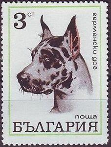 Great Dane (Canis lupus familiaris)