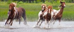 Wild Ponies on Assateague Island (where Misty of Chincoteague was born). I'd love to see beautiful wild horses running.