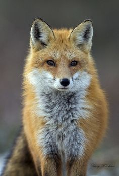 FFFFOUND! | Fox / Red Fox