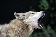 It's a howling good time at the Cincinnati Zoo for Wolf Appreciation Week! haha