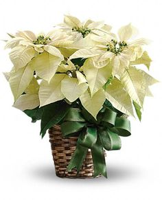 USA Plants - White Poinsettia