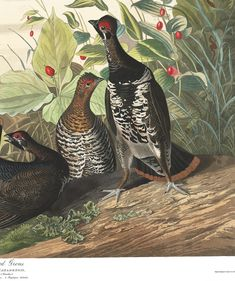 Spotted Grouse | John James Audubon's Birds of America Audubon Birds, Birds Of America, John James Audubon, Grouse, Bedroom Plants, Illustration, Painting, Animals, Art
