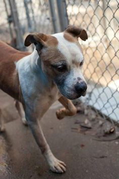 NC URGENT!!! RESCUE ONLY!!! BO JACK Meet BoJack (Rescue Only), a Petfinder adoptable Pit Bull Terrier Dog | Henderson, NC | Bo Jack runs in an enthusiastic happy way to meet visitors. He has some scratches on his face and...