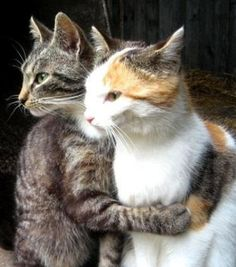 ~I got you grey cat love Animals And Pets, Funny Animals, Cute Animals, Cute Kittens, Cats And Kittens, Beautiful Cats, Animals Beautiful, Face Chat, Photo Chat
