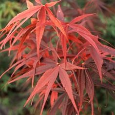 Erable du Japon 'Red Emperor' - Plantes et Jardins