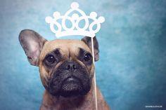 Französische Bulldogge Prinzessin  French Bulldog www.Genkibulldog.de