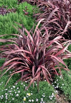 phormium avec feuille rouge - The world's most private search engine Garden Bar, Balcony Garden, Garden Pots, Garden Ideas, Coastal Gardens, Rustic Gardens, Goat Fence, Architectural Plants, Drought Resistant Plants