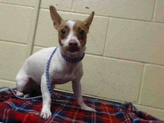 SAFE --- PLEDGES NEEDED FOR RESCUE!  I don't have a name yet and I'm an approximately 1 year old female chihuahua sh. I am not yet spayed. I have been at the Downey Animal Care Center since November 20, 2014. I am available on November 20, 2014. You can visit me at my temporary home at DRECEIVING. https://www.facebook.com/photo.php?fbid=763256050421396&set=a.621812584565744&type=3&theater