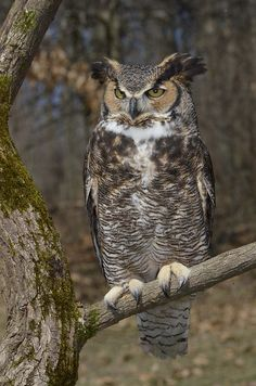 His first night in Lamorinda, Aidan attracts an animal totem ~ a Great Horned Owl.