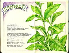 Garden Journal: Comfrey  The Illustrated Garden - Val Webb's Studio Blog