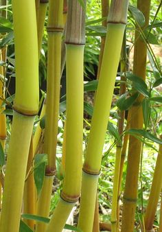 I love Bamboo as a 'fence' or to create privacy - This one has a beautiful lime green stalk. (Phyllostachys aureosulcata 'Lama Temple') Hardy in zones 5 through 10 to -10 F. #naturalprivacy #sacredgarden