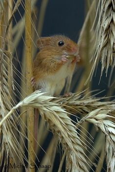 Field Mouse by Ives indulgy.com via michielschaap.nl