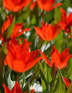Tulipa praestans 'Zwanenburg', BIO Flora Garden, Garden Plants, Fungi, Cactus, Ferns, Html, Flowers, Gardens, Tulips