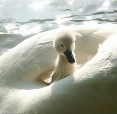 baby swan - lovely photo!
