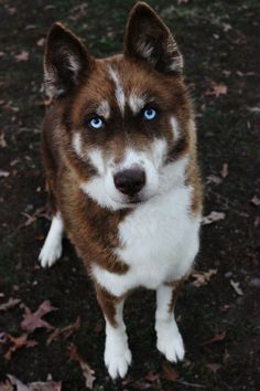 World Change is How I Roll World Change is How I Roll Huskies / Alaskan Malamutes Cute Dogs And Puppies, I Love Dogs, Doggies, Cute Animal Pictures, Dog Pictures, Beautiful Dogs, Animals Beautiful, Siberian Husky Puppies, Siberian Huskies