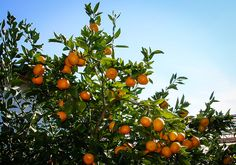 'Orange Frost' suitable for North Texas patios. -- Texas A M AgriLife Extension Research -- Satsuma 'Orange Frost' is cold hardy to 25 F and, occasionally, short periods of lower temperatures. Texas Gardening, Gardening Zones, Organic Gardening, Gardening Tips, Gardening Vegetables, Satsuma Tree, Satsuma Orange, Small Backyard Gardens, Courtyards