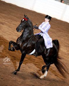 Sir Robin Hood; 2006 dark chestnut American Saddlebred stallion (Sir William Robert x Callaway's Maid Marian)