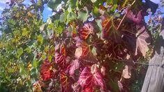 erbe aromatiche officinali: Uva e Vigna Autunno Immagini