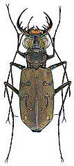 Udo Schmidt: фотографии палеарктических и экзотических жуков на сайте FLICKR (фрагмент)