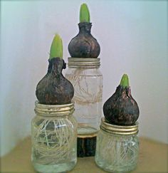 Bulbs in mason jars: nice view of roots