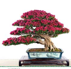 Bonsai styles are different ways of training your bonsai to grow the way you want it to. Get acquainted with these styles which are the basis of bonsai art. Bougainvillea Bonsai, Bonsai Plants, Bonsai Garden, Bonsai Flowers, Succulents Garden, Air Plants, Cactus Plants, Ikebana, Bonsai Tree Care