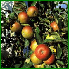 Apfelbaum im Garten Einpflanzen und Pflegen Ficus, Apple, Fruit, Strawberry Tree, Fig Tree, Pink Blossom, Small Trees, Mulches, Apple Tree