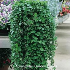 Dichondra Seeds - Ground cover seeds - Annual Flower Seeds Dichondra Seeds - Ground cover seeds - An Front Porch Plants, Front Porch Flowers, Balcony Plants, Ground Cover Seeds, Ground Cover Plants, Outdoor Shade, Outdoor Plants, Plants Indoor, Nothing But Flowers