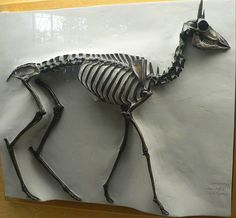It has been found at least as far east as the coast of Texas. It stood about 60 centimetres tall at the shoulders and weighed about 10 kilograms (22 lb). It is unclear whether females had horns as well as males. Each horn consists of a pair of short, straight points that sprout from a single base on either side of the head, with the two prongs parallel rather than diverging as in Tetrameryx and Stockoceros.