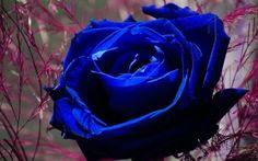 壁紙をダウンロードする バラ, ブルーローズ, 芽, マクロ