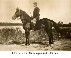 all extinct American breeds, none played so large a role as the Narragansett Pacer. This horse helped influence the American Saddlebred, the Tennessee Walker, the Standardbred, the Tiger horse and smooth-gaited horses such as the Missouri Fox Trotter, the Moyle and the Rocky Mountain horse.
