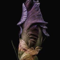 Juergen Birchler: Iris