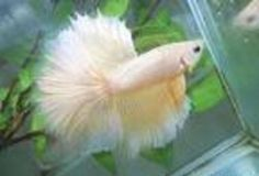 Exotic half-moon bettas for sale from Rs. 450/- - Pune-