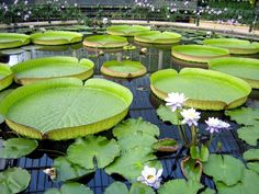 Kew Gardens , London. Lovely Calming effect of the Lily Pads.