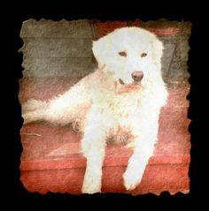 My Livestock Guardian Dog, Bocelli (Maremma Sheepdog)