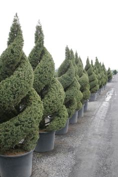 Well Manicured Topiaries in Pots Garden Shop, Dream Garden, Garden Art, Garden Design, Topiary Garden, Topiary Trees, Formal Gardens, Outdoor Gardens, Plant Art