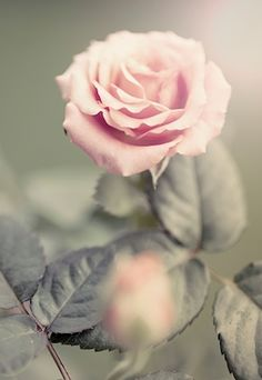 Close-up photography of a pink beautiful rose. Available as poster at printler.com, the marketplace for photo art. Photographer Viveka Österman.