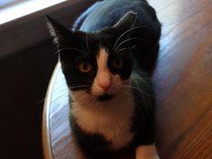 Spunky Brewster, my tuxedo cat