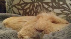 #cute  Flat pancake or guinea pig? Heehee!