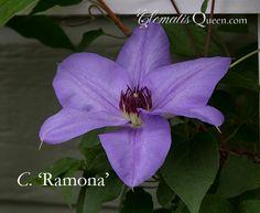Clematis 'Ramona'