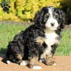 28 Best Mini Bernedoodles images in 2019 | Puppies for sale
