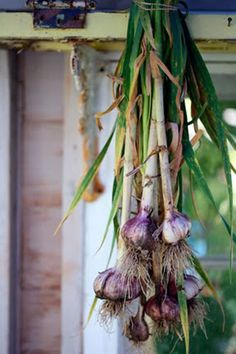 local...fresh...organic...garlic << rule of thumb, plant on the shortest day of the year, cultivate on the longest day of the year (21 June - 21 December)💜💜💜