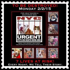 TO BE DESTROYED: 7 beautiful dogs to be euthanized by NYC ACC- MON. 02/02/15. This is a VERY HIGH KILL shelter group. YOU may be the only hope for these pups! ****PLEASE SHARE EVERYWHERE!!To rescue a Death Row Dog, Please read this:  http://urgentpetsondeathrow.org/must-read/    To view the full album, please click here:    https://www.facebook.com/media/set/?set=a.611290788883804.1073741851.152876678058553&type=3
