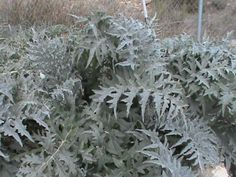 Our artichokes in February 2014...they will grow to about 7 feet in the spring
