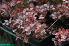 Berberis atropurpurea nana. Planta excelente para setos bajos. http://www.plantamus.es/ARBOLES-ARBUSTOS