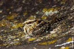 Bacurau Tesoura (Hydropsalis torquata)