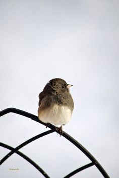 Pretty Winter Junco Print by Christina Rollo.  All prints are professionally printed, packaged, and shipped within 3 - 4 business days. Choose from multiple sizes and hundreds of frame and mat options.